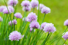 Purple chives blossom, macro photo Royalty Free Stock Image