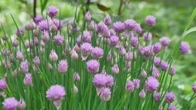 Purple `Chives` flower or Wild Chives, Flowering Onion, Garlic Chives, Chinese Chives, Schnitt Lauch in St. Gallen. Purple Chives flower or Wild Chives Royalty Free Stock Images