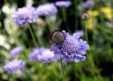 Purple Choise Stock Photography