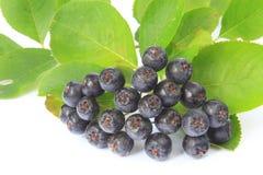 Purple chokeberry (Aronia melanocarpa) Royalty Free Stock Photo