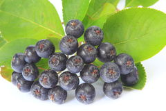 Purple chokeberry Royalty Free Stock Image