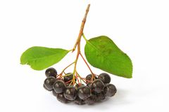 Purple chokeberry Stock Photography