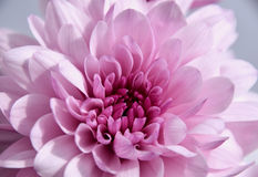 Purple chrysantemum macro. Chrysanthemums sometimes called mums or chrysanths, are flowering plants in the family Asteraceae Stock Photos
