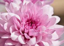 Purple chrysantemum macro Stock Photography