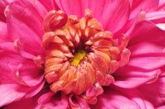 Purple Chrysanthemum 1 Stock Photos