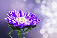 Purple chrysanthemum Royalty Free Stock Photography