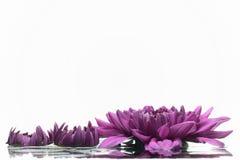 Purple chrysanthemum. Royalty Free Stock Image