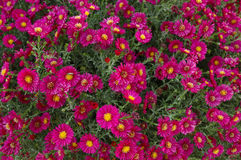 Purple Chrysanthemum. Flowers in a personal garden Norhern Xinjiang, China royalty free stock photo