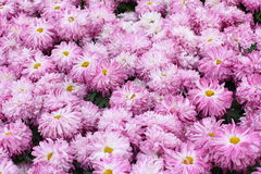 Purple chrysanthemum background Royalty Free Stock Image