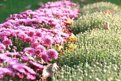 Purple Chrysanthemum Blooms & Buds. Blooming and budding purple chrysanthemums on a fall day stock photography