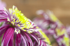 Purple chrysanthemum bouquet closeup Royalty Free Stock Image