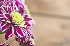 Purple chrysanthemum bouquet closeup Royalty Free Stock Image