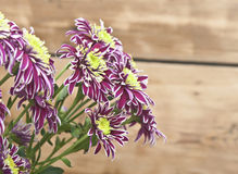 Purple chrysanthemum bouquet closeup Royalty Free Stock Photography