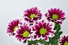 Purple chrysanthemum. Bouquet closeup - Chrysanthemum indicum - Florist chrysanthemum - Dendranthema stock image