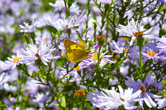 Purple chrysanthemum and butterfly. Under the sun stock photography
