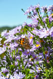 Purple chrysanthemum and butterfly. Under the sun stock image
