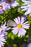 Purple chrysanthemum and butterfly. Under the sun royalty free stock photography