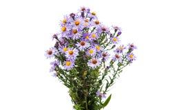 Purple chrysanthemum Royalty Free Stock Photos