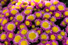 purple chrysanthemum Stock Photography