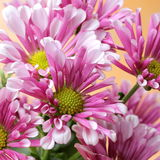Purple Chrysanthemum Flower. Close-up View of Purple Chrysanthemum Flowers Stock Images