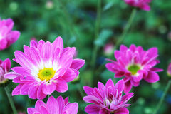Purple Chrysanthemum in flower garden agriculture background with soft focus. Royalty Free Stock Image