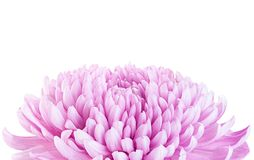 Purple chrysanthemum flower head Royalty Free Stock Image