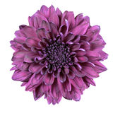 Purple Chrysanthemum Flower Isolated on White Stock Images