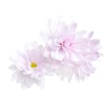 Purple chrysanthemum flower isolated Royalty Free Stock Images