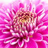 Purple chrysanthemum flower macro stock photos