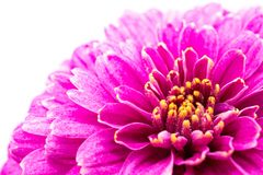 Purple chrysanthemum flower macro on white background royalty free stock image