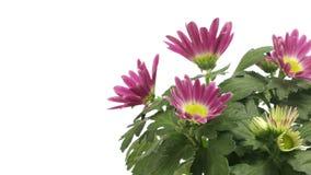Purple Chrysanthemum Flower Time-lapse stock video