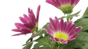 Purple Chrysanthemum Flower Time-lapse stock video footage