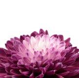 Purple Chrysanthemum Flower with White Center Stock Photography