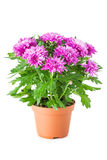 Purple chrysanthemum in flowerpot, isolated. Royalty Free Stock Photos