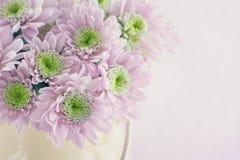 Purple chrysanthemum flowers Stock Image