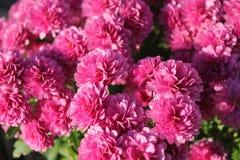 Purple chrysanthemum flowers bush closeup stock photo