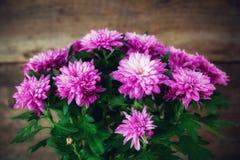 Purple chrysanthemum flowers close up. royalty free stock images