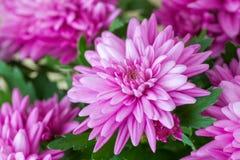 Purple chrysanthemum flowers closeup. Stock Image