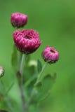Purple chrysanthemum flowers clouseup. Spring background. Stock Photography
