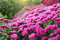 Purple chrysanthemum flowers on flowerbed. stock photo