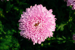 purple chrysanthemum flowers in the garden Royalty Free Stock Photo