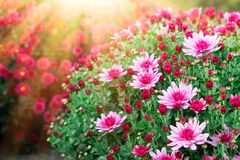 Purple chrysanthemum flowers in sunlight at sunny day. stock images