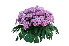Purple Chrysanthemum flowers with tropical leaves Monstera, ornamental nature bush podium floral arrangement isolated on white. Background, clipping path stock photos