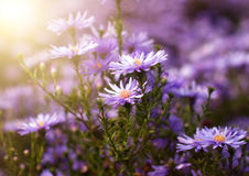 Purple chrysanthemum flowers Stock Photo