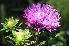 Purple chrysanthemum. On a green background Royalty Free Stock Photo
