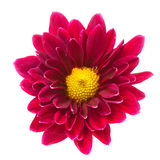 Purple chrysanthemum isolated Royalty Free Stock Photography