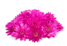 Purple chrysanthemum isolated Stock Photo