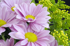 Purple Chrysanthemum. Light purple Chrysanthemum with yellow center Royalty Free Stock Photos