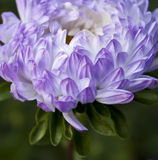 The purple chrysanthemum Royalty Free Stock Photos
