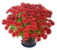 Purple chrysanthemum n flowerpot Stock Photos
